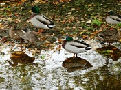 Mallard ducks in the shallows.