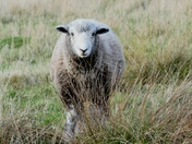 Herdwick sheep in the fields.
