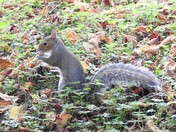 Grey Squirrel at Sculthorpe moor