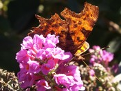 Comma on Buddleia