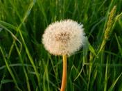 A dandylion in seed