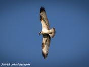 Holkham osprey