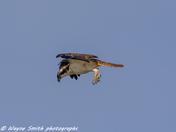 norfolk osprey