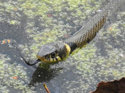 Swimming Grass Snake.