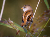 Strumpshaw Bearded Reedlings