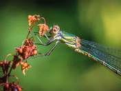 Willow Emerald, Detail