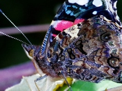 Red Admiral Butterfly (detail comp)