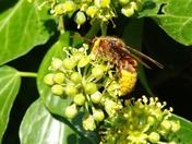 Hornet on Ivy bosom (Detail Comp)