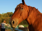 Gorgeous gentle giant .....Suffolk Punch