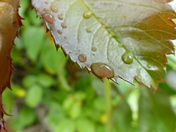 DETAIL. Water Drops On Leaf