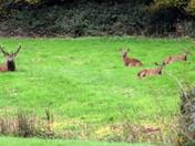 Deer resting Kirton