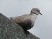 A COLLARED DOVE RESTS ON THE ROOF EDGE