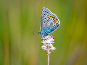 Common Blue, Detail
