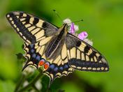 Swallowtail details