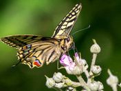 Swallowtail butterfly details