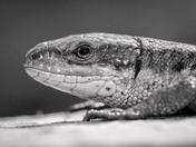 Lizard Details
