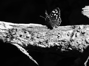 Settled Speckled