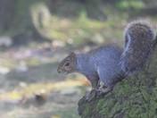 More Grey Squirrels