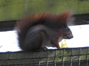 Red squirrels at pensthorpe
