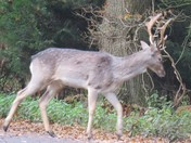 Stag in woodland