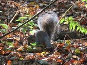 Squirrel burying acorn
