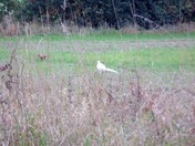 Albino pheasant Bucklesham Heath