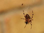 Spider....