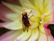 Detail: Flower and Hoverfly