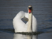 Mighty Swan