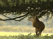 Deer Rut this week at Holkham,