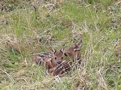 Twin fawns.