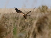 Marsh Harrier at Cley Marshes