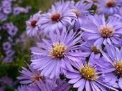 Asters  (Detail)