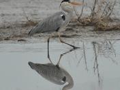 Reflection of a Grey Heron.