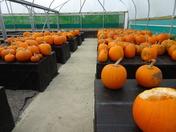 Pumpkins all ready