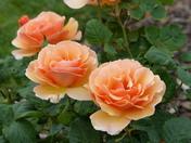 ORANGE. Roses