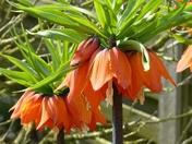 ORANGE. Lillies
