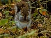 Grey squirrel having a feast