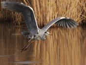 Grey Heron at Fowlmere