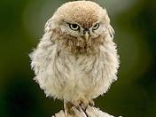 Fabulous Little Owls.