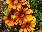 A cluster of Orange