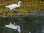 Egret at full tilt