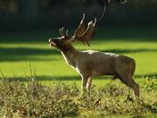 Rutting Deer!