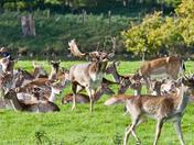 Fallow Deer Buck Roaring in Holkham Park