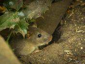 Pensthorpe Mouse