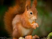 Red Squirrel Pensthorpe