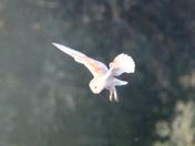 Barn Owl Ivy Farm
