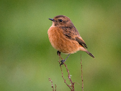 Strumpshaw Stonechat, female