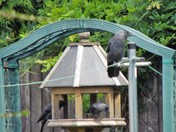 JACKDAWS _ THE FAMILY VISIT