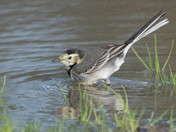 Pied Wagtails Bath Time